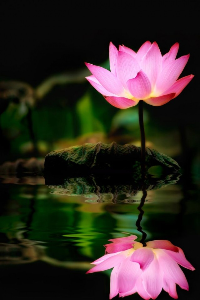 Loto: La flor Cósmica