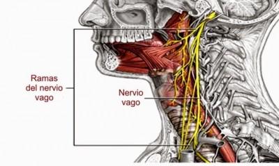 b2ap3_thumbnail_Nervio_Vago.jpg